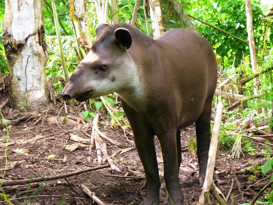 Historia de precioso, el tapir