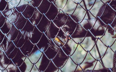 La extinción sigue acechando a la fauna silvestre del Perú