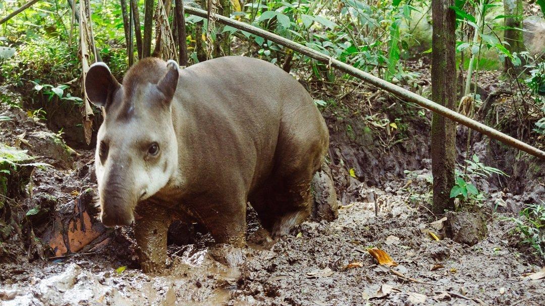 Tapir Centro Urku