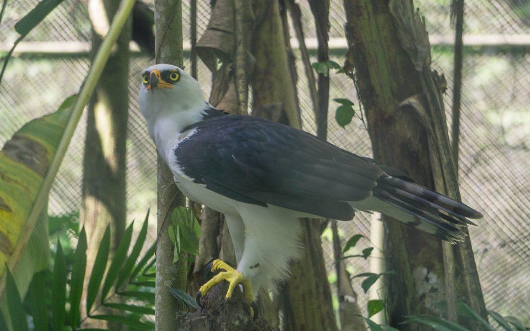 Waman, el águila blanqui-negra