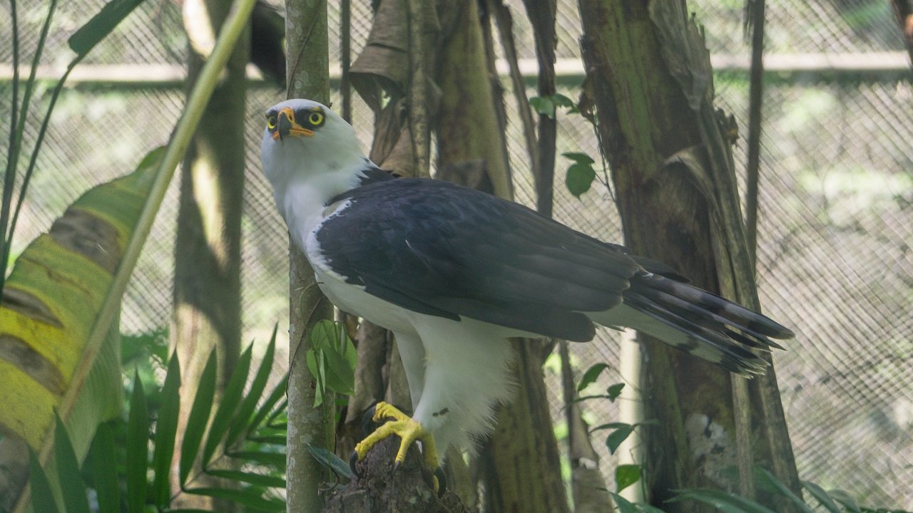 Águila blanqui-negra centro urku: historias de animales rescatados en Tarapoto por el Centro Urku.